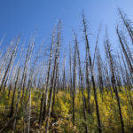 New vegetation fills an old burn area from the Trapper Fire in 2003. (Jake Green)